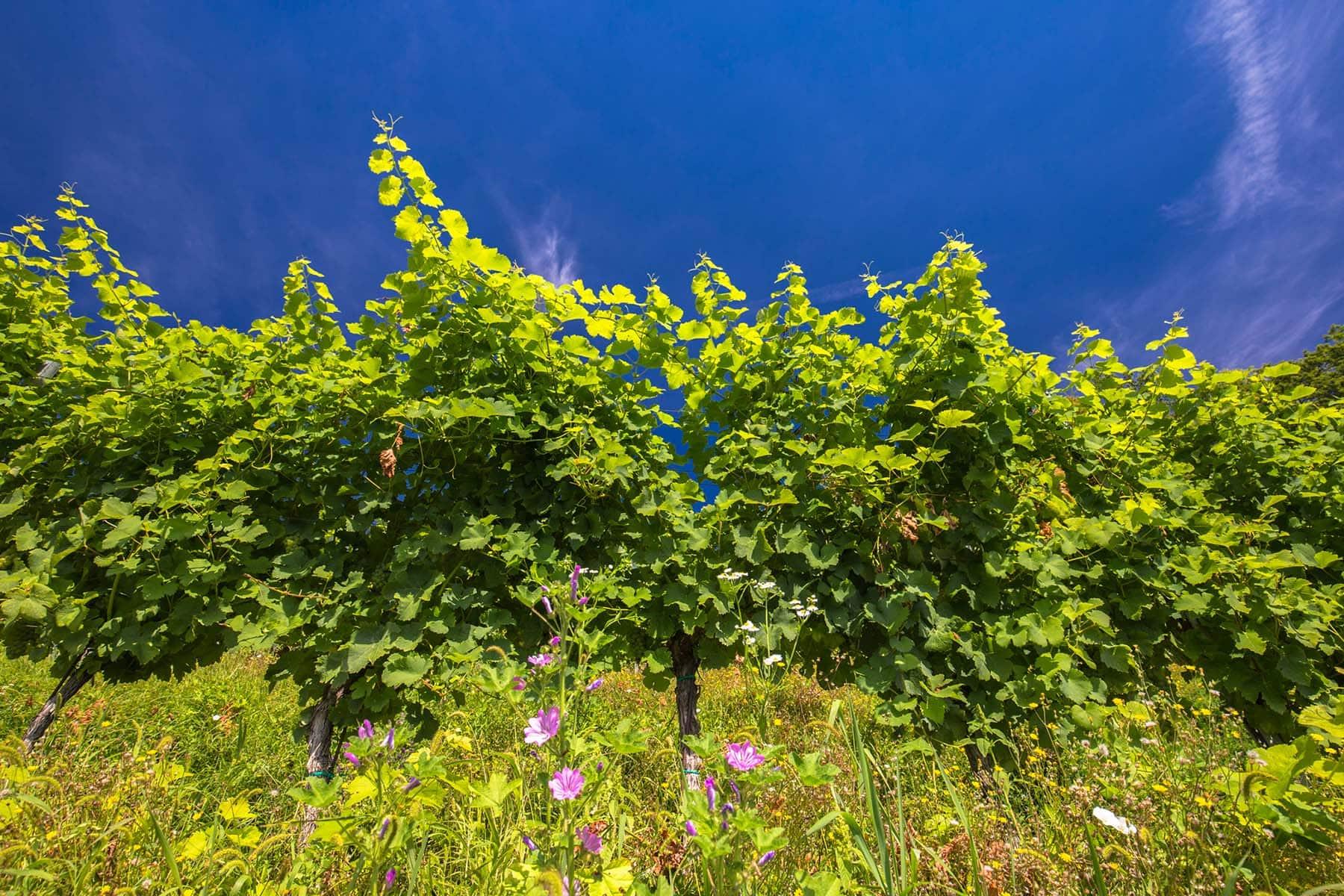 Schneeberger Wein